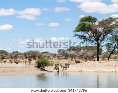 Plains Zebra (Equus quagga, also known as the common zebra or Burchell's zebra) drinking water  in Tarangire in Tanzania, Africa. - stock photo