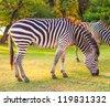 Plains zebra (Equus quagga) grazing, South Africa - stock photo