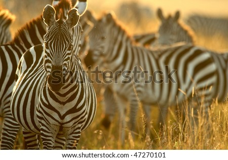 Plains zebra (Equus quagga), Masai Mara National Reserve, Kenya - stock photo
