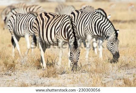 Plains Zebra, Etosha National Park, Namibia - stock photo