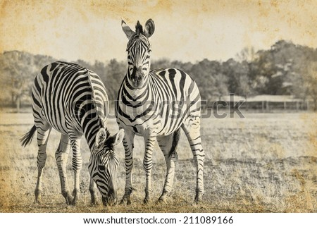 Plains zebra in retro style - black and white photo with African animals. Two striped zebra  in the African savanna on vintage paper. - stock photo
