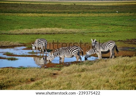 Plains zebras drinking water at Amboseli National Park, Kenya - stock photo