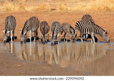 Plains Zebras (Equus burchelli) drinking water, Pilanesberg National Park, South Africa - stock photo