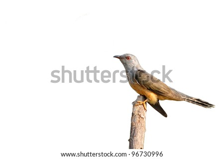 Plaintive Cuckoo bird siiting on branch whit white background from Thailand