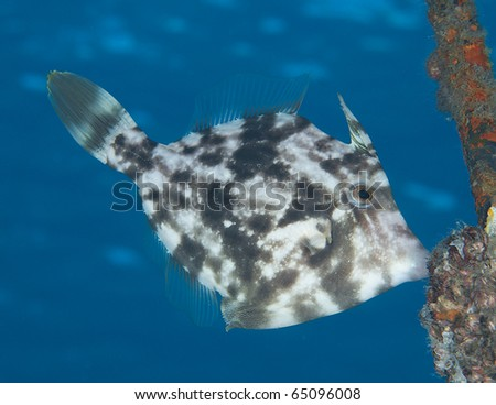 Planehead Filefish-Stephanolepis hispidus, picture taken in Palm Beach County Florida. - stock photo