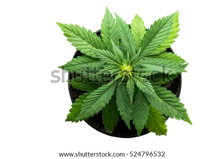 plant bush cannabis marijuana leaves top view