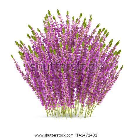 Plant bush isolated. Calluna