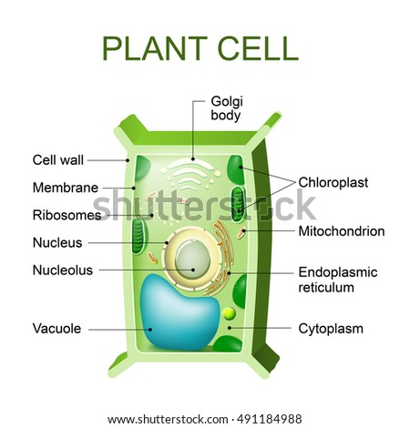 cross section of a plant cell - Vaydile.euforic.co