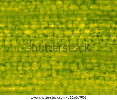 plant cells under microscope - stock photo