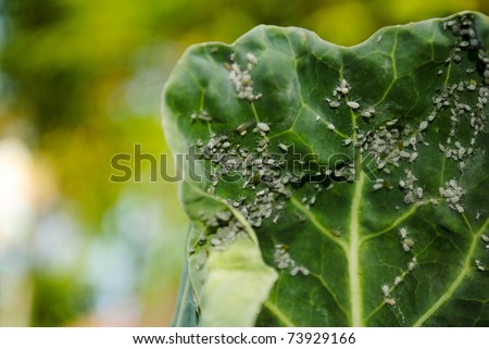 plant covered in aphids - stock photo
