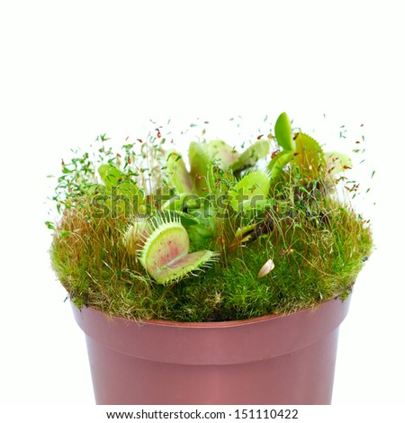 plant Dionaea muscipula close-up - stock photo