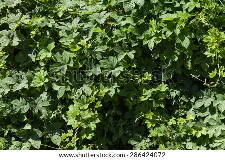 Plant green background. Summer photo of green tree. Tree leaves background. Natural tree crown wallpaper. Lush foliage of the trees. - stock photo