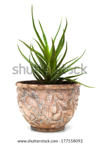 Plant haworthia in old pot isolated on white