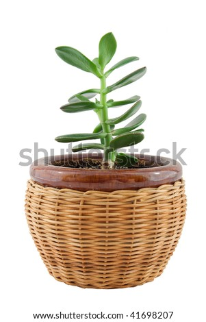 plant in the pot, isolated on white