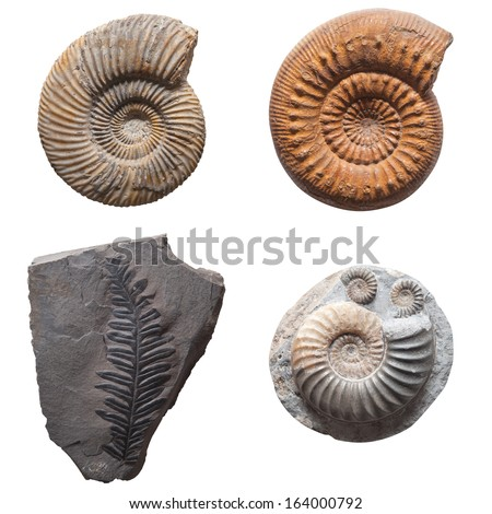 Plant Leaf fossil embedded in stone, real ancient petrified shell, isolated on white  - stock photo