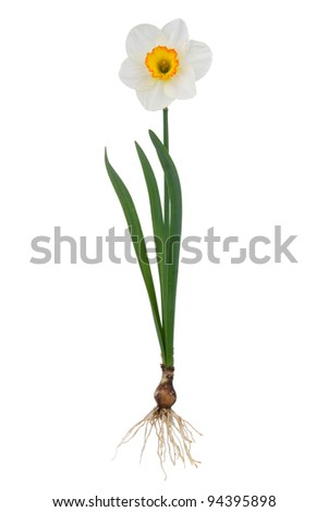 Plant narcissus inclusive bulb on white background - stock photo