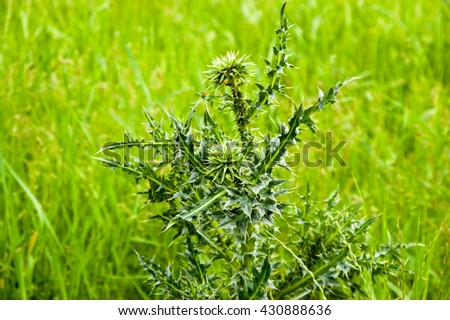 plant of a juicy green thistle in grass greens - stock photo