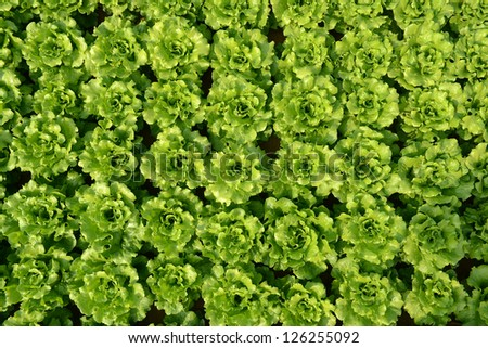 plant of salad in countryside - stock photo