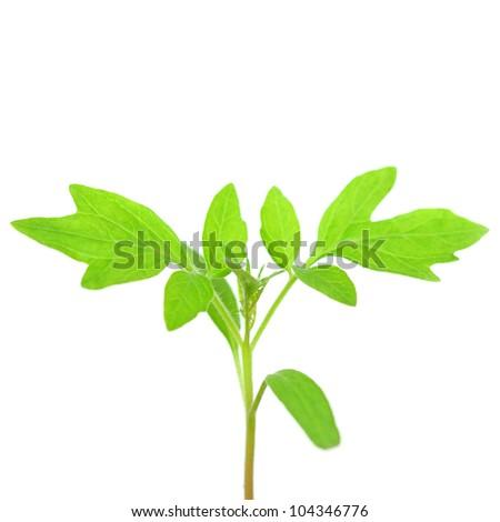 plant of tomato isolated on white - stock photo