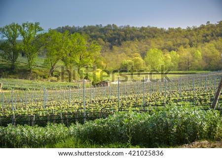 Plant planted between the Italian vineyards, Favino. - stock photo