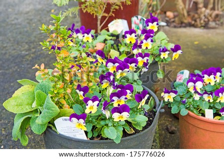 Plant pots with colourful flowers - stock photo