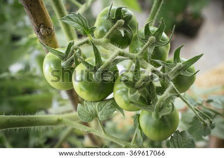 plant's small green organic tomatoes in cluster - stock photo