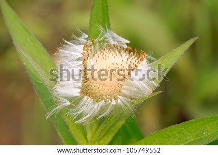 plant seeds spread by wind on a green background, can be used as species of medicinal herbs, can treat disease, taken photos in the wild natural state, Luannan County, Hebei Province, China. - stock photo