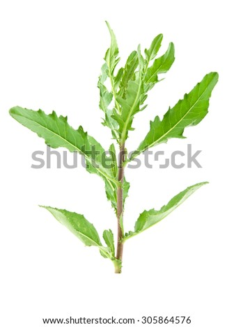 plant thistle isolated on a white background - stock photo