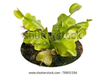 plant venus flytrap isolated on white background - stock photo