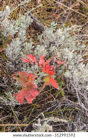 Plant with red leaves growing among sagebrush and creating a beautiful contrast - stock photo