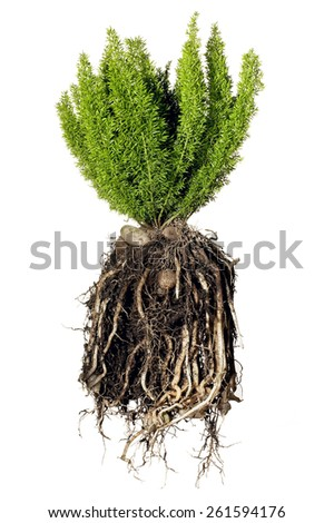Plant with Roots - stock photo