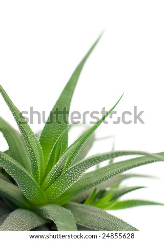 plant with sharp leaves - stock photo