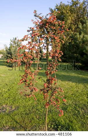 Plant with small red fruits - stock photo