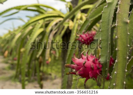 Plantage of red dragon fruit in Indonesia