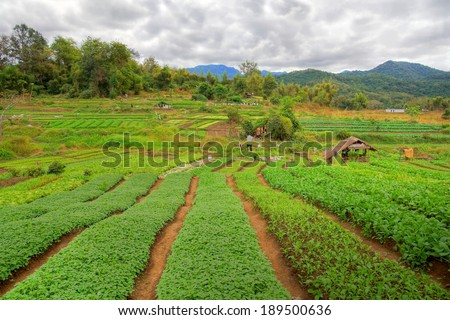 plantation field with crop and a beautiful mountain landscape in the background  - stock photo