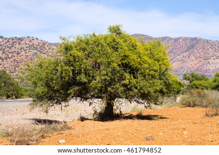 Plantation of argan trees in Morocco