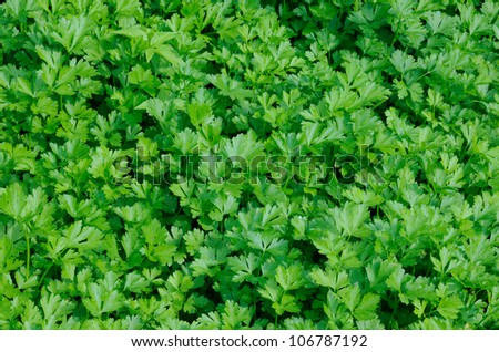 Plantation of green parsley in vegetable garden - stock photo