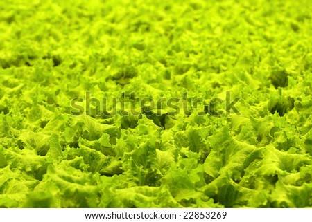 Plantation of green salad for preparation of dishes. - stock photo