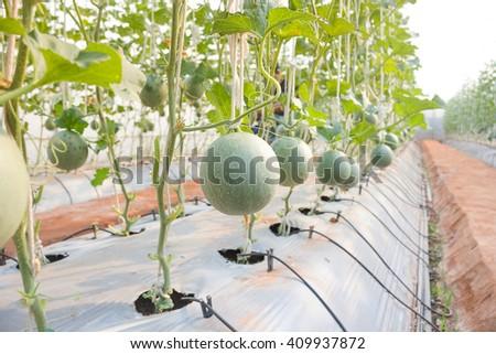 Plantation of melon in greenhouse. - stock photo