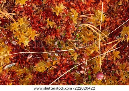 Plantation of raised bog in October. - stock photo