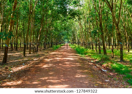 plantations of rubber trees on a sunny day in Vietnam