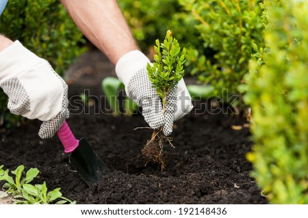 Planting a seedling. Close-up image of male hands in glovers holding green plant - stock photo