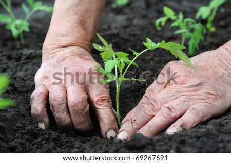 planting a tomatoes  seedling - stock photo