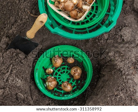 Planting bulbs in autumn daffodils in a basket - stock photo