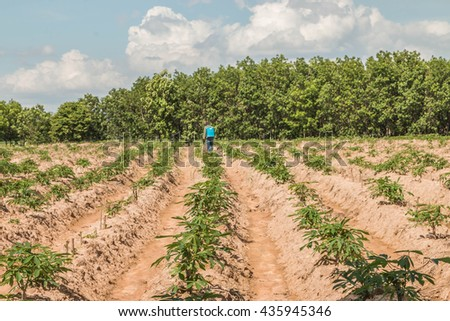 Planting cassava plantation It is very popular in rural areas. The plant is easily grown Do not require much water A cash crop export. - stock photo
