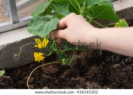 Planting cucumbers in a greenhouse. Farming and garden