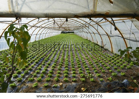 planting lettuce in a greenhouse - stock photo