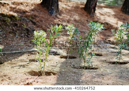 Planting of little olive trees on a warm sunny day - stock photo