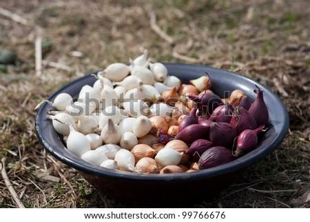 Planting of onion - stock photo