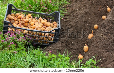 Planting of potatoes on a bio garden. Seasonal work. - stock photo
